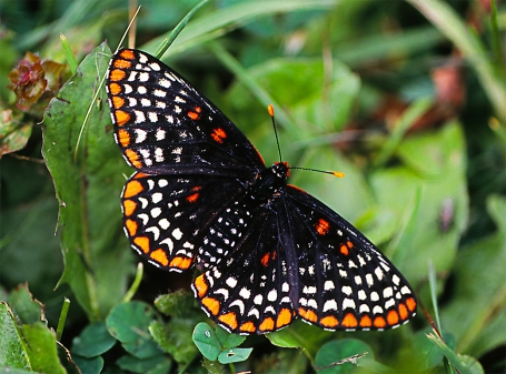 Baltimore Checkerspot butterfly, photographed by Jeff Zablow at the Jamestown Audubon Center in Jamestown, NY.