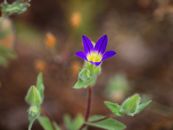 Unknown wildflower, photographed by Jeff Zablow at Ramat Hanadiv, Israel