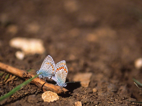 Polyomattus Icarus butterflies photographed by Jeff Zablow at Ramat Hanadiv, Israel