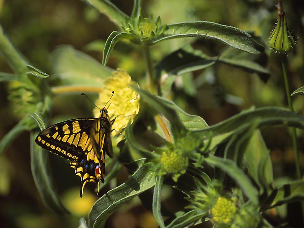 Papilla Machaon butterfly, photographed by Jeff Zablow at Ramat Hanadiv, Israel