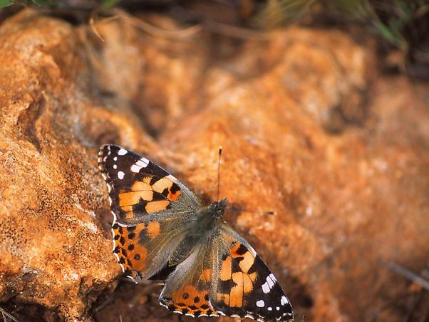 Painted Lady butterfly, photographed by Jeff Zablow at Ramat Hanadiv, Israel