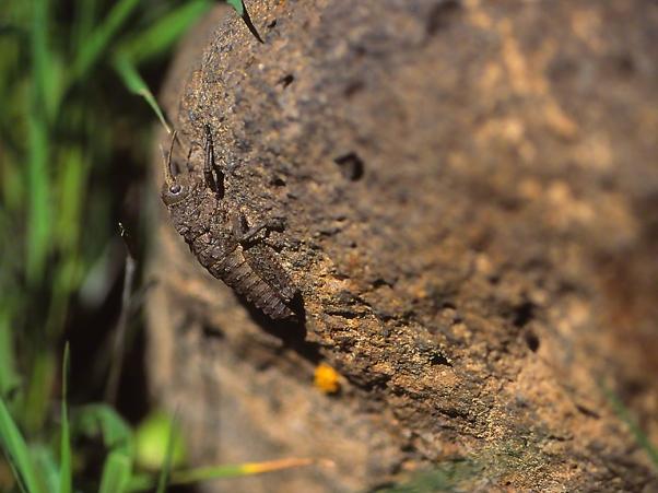 Rare Grasshopper, photographed by Jeff Zablow at Yehudiya National Park, Golan Heights, Israel