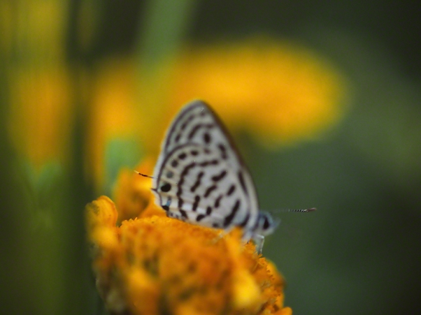 Tarucus Balkanizes butterfly  Near Syrian border, photographed by Jeff Zablow at Golan Heights, Israel