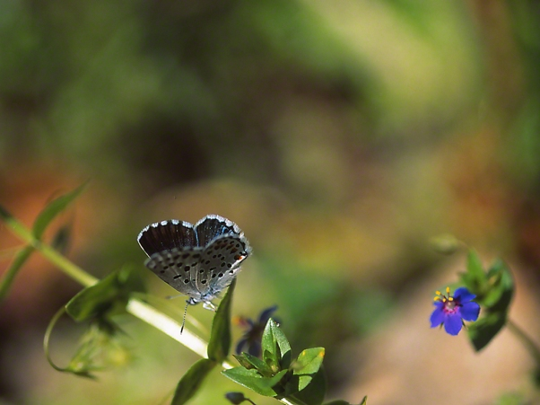 Pseudophilotes Vicrama butterfly, photographed by Jeff Zablow at Ramat Hanadiv, Israel