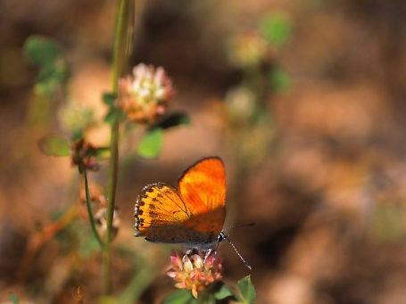 Lesser Fiery Copper butterfly, photographed by Jeff Zablow at Ramat Hanadiv, Israel