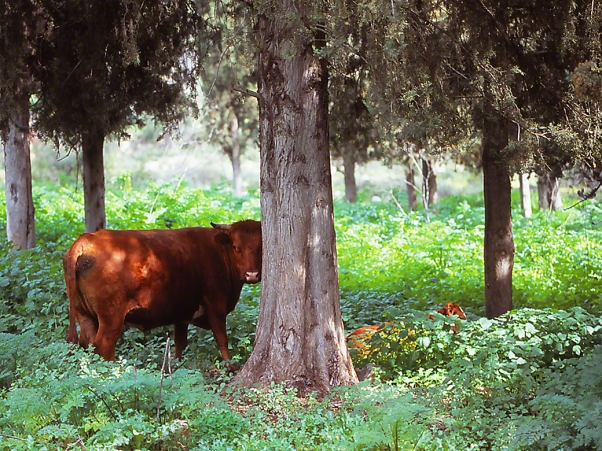 Chocolate Brown Cow, photographed by Jeff Zablow at Nahal Dishon National Park, Upper Galilee, Israel
