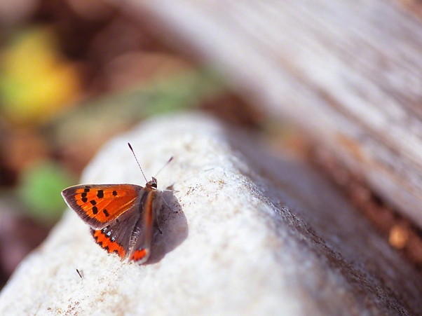 Lycaena Phlaeas butterfly, photographed by Jeff Zablow at Nahal Dishon National Park, Upper Galilee, Israel
