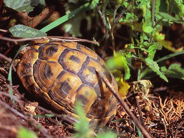 Tortoise, photographed by Jeff Zablow at Nahal Dishon National Park, Upper Galilee, Israel