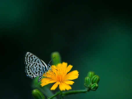 Tarucus Rosaceus butterfly, photographed by Jeff Zablow near the Syrian border, at Golan Heights, Israel