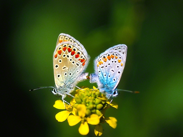 Common Blue butterflies, photographed by Jeff Zablow at Ramat Hanadiv, Israel