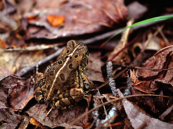 Toad, photographed by Jeff Zablow at Adkins Arboretum, MD