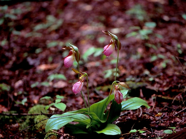 Pink Lady's Slipper Wildflower, photographed by Jeff Zablow at Chapman State Park, NY