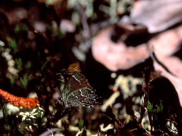 Juniper Hairstreak butterfly, photographed by Jeff Zablow at Panola Mountain State Park, GA