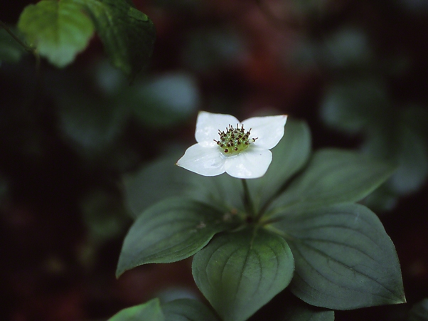 Bunchberry wildflower, photographed by Jeff Zablow at Watts Flats Wetland, NY