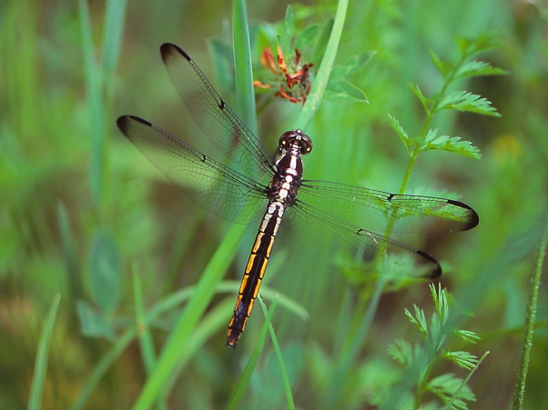 Darner, photographed by Jeff Zablow at Watts Flats Wetland, NY