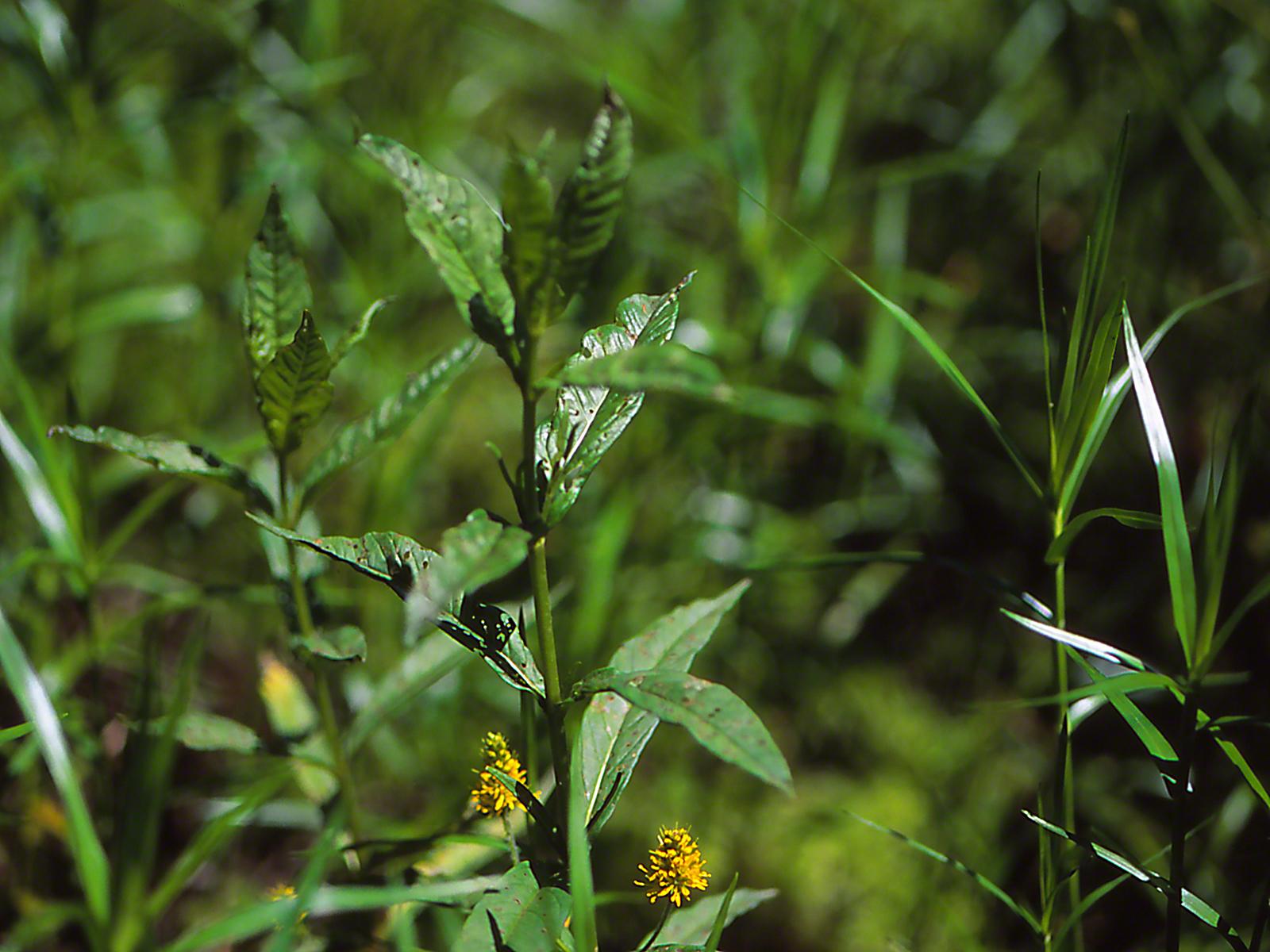 Wetland wildflower, photographed by Jeff Zablow at Watts Flats Wetland, NY