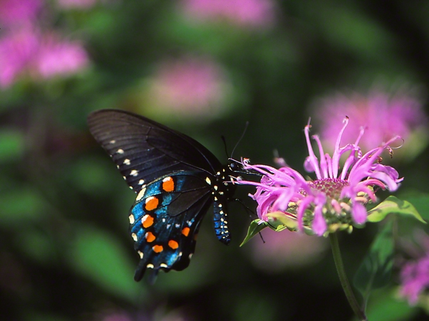 Close Up of Pipevine Swallowtail  Butterfly photographed by Jeff Zablow as it perched on Bergamot flower at Raccoon Creek State Park in Pennsylvania, 7/31/14