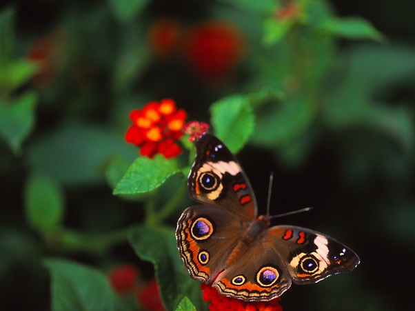 Buckeye butterfly photographed by Jeff Zablow at the Butterflies and Blooms Habitat in Eatonton, GA