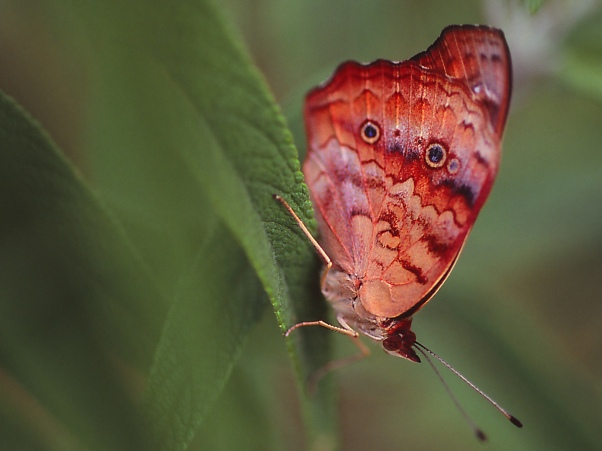 Buckeye (ventral) photographed by Jeff Zablow at the Butterflies and Blooms Habitat in Eatonton, GA
