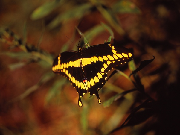 Giant Swallowtail butterfly photographed by Jeff Zablow at the Butterflies and Blooms Habitat in Eatonton, GA