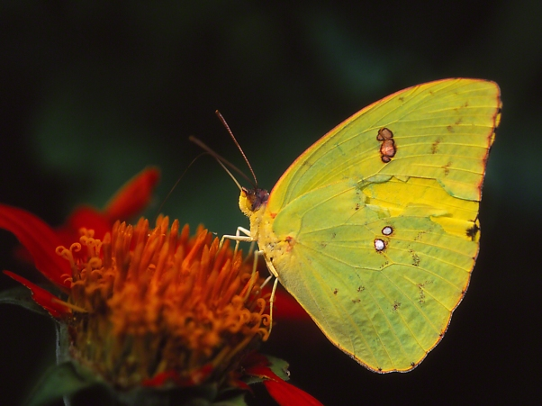 Cloudless Sulphur butterfly on tithonia photographed by Jeff Zablow at the Butterflies and Blooms Habitat in Eatonton, GA