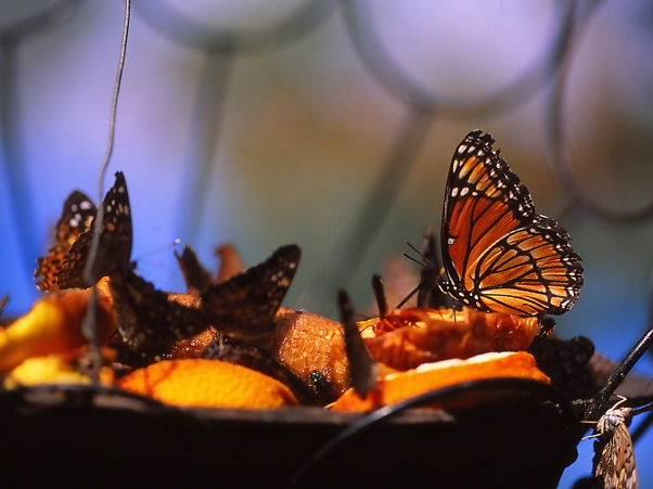 Hanging Fruit Basket with Viceroy butterfly photographed by Jeff Zablow at the Butterflies and Blooms Habitat in Eatonton, GA