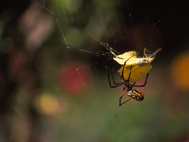Argiope with sulphur prey photographed by Jeff Zablow at the Butterflies and Blooms Habitat in Eatonton, GA