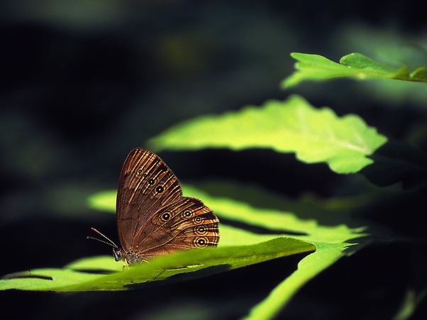 Eyed Brown butterfly photographed by Jeff Zablow at Allenberg Bog in New York