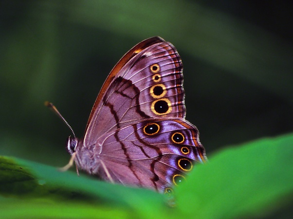 Northern Pearly Eye Butterfly, photographed by Jeff Zablow at Raccoon Creek State Park in Pennsylvania