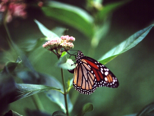 Monarch Butterfly, photographed by Jeff Zablow at Raccoon Creek State Park in Pennsylvania