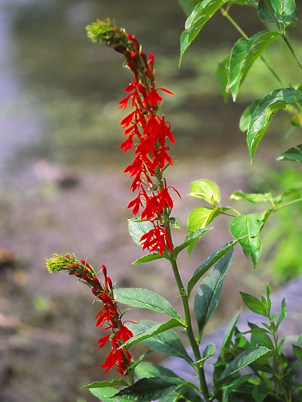 Cardinal flower wildflowers, photographed by Jeff Zablow at Jamestown Audubon Center in New York