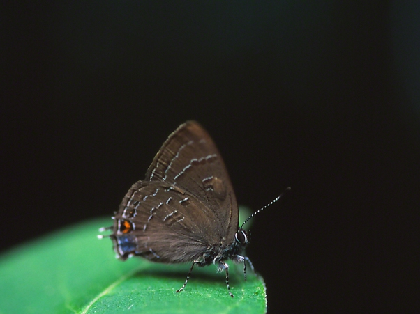 Gray hairstreak Butterfly, photographed by Jeff Zablow at Jamestown Audubon Center in New York