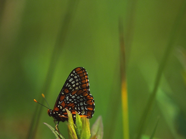 Baltimore Checkerspot Butterfly, photographed by Jeff Zablow at Jamestown Audubon Center in New York