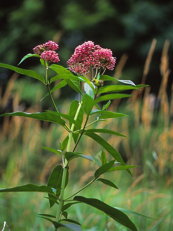 Swamp Milkweed, photographed by Jeff Zablow at Jamestown Audubon Center in New York