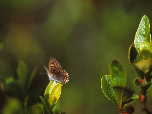 Dorsal View of Bog Copper Butterfly, photographed by Jeff Zablow at Allenberg Bog in New York