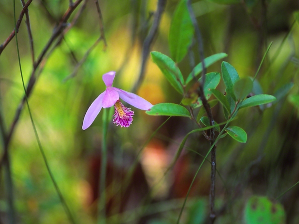 Orchid, photographed by Jeff Zablow at Allenberg Bog in New York