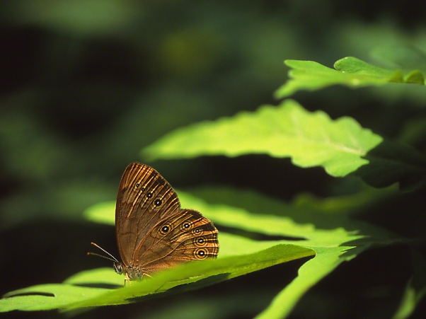 Northern Pearly Eye Butterfly Perched on Leaf, photographed by Jeff Zablow at Allenberg Bog in New York