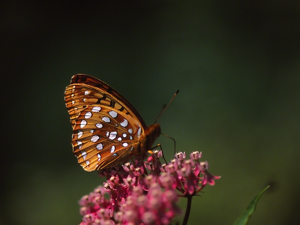 Great Spangled Fritillary Butterfly on Swamp Milkweed, photographed by Jeff Zablow at Allenberg Bog in New York