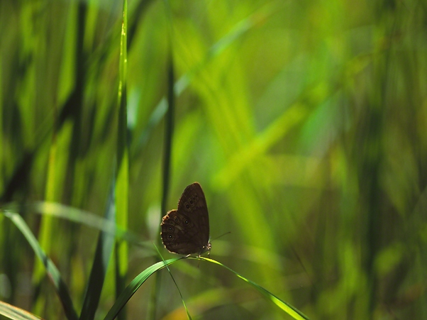 Northern Pearly Eye Butterfly (Profile), photographed by Jeff Zablow at Allenberg Bog in New York
