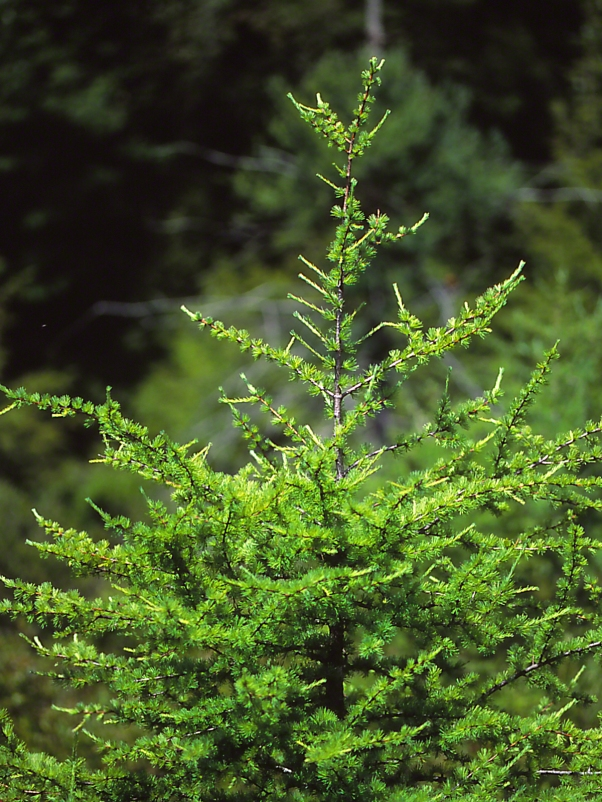 Tamarack Pine Tree, photographed by Jeff Zablow at Allenberg Bog in New York
