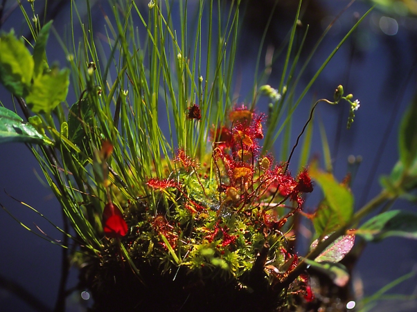 Sundew Wildflowers, photographed by Jeff Zablow at Allenberg Bog in New York
