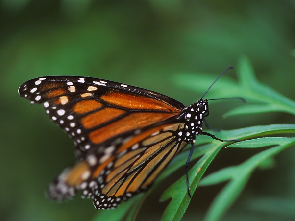 Monarch butterfly photographed by Jeff Zablow at the Butterflies and Blooms Habitat in Eatonton, GA