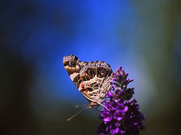 American Lady butterfly (ventral) photographed by Jeff Zablow at the Butterflies and Blooms Habitat in Eatonton, GA