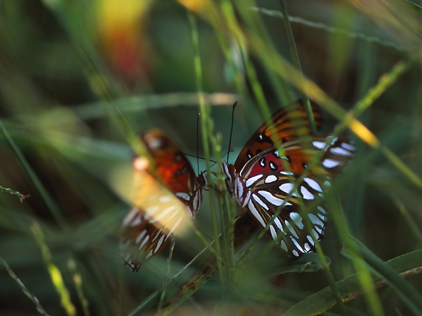 "Gulf fritillary butterflies flirting, photographed by Jeff Zablow at ""Butterflies and Blooms in the Briar Patch,"" Eatonton, GA"