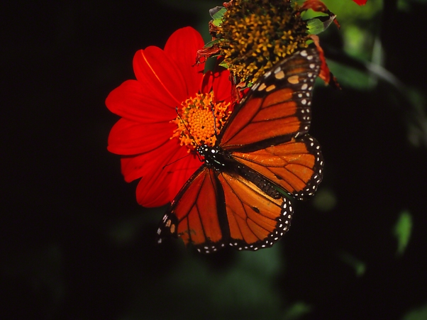 "Monarch butterfly (male), photographed by Jeff Zablow at ""Butterflies and Blooms in the Briar Patch,"" Eatonton, GA"
