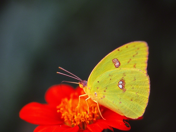 "Cloudless sulphur butterfly, photographed by Jeff Zablow at ""Butterflies and Blooms in the Briar Patch,"" Eatonton, GA"