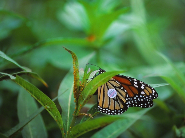 "Monarch butterfly (female, tagged) ovipositing, photographed by Jeff Zablow at ""Butterflies and Blooms in the Briar Patch,"" Eatonton, GA"