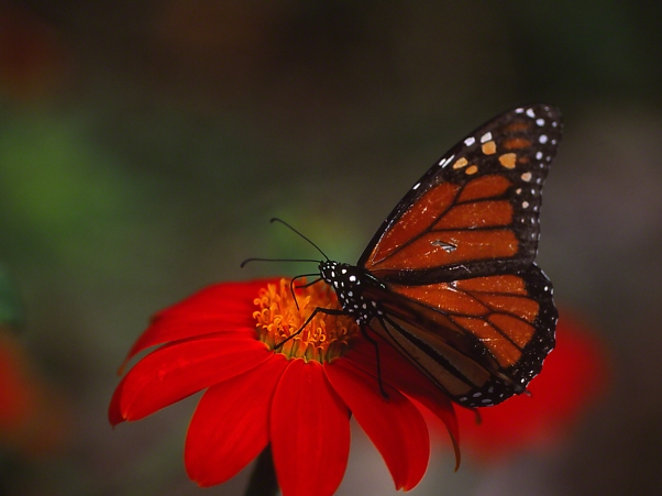 "Monarch butterfly (female) on Tithonia, photographed by Jeff Zablow at ""Butterflies and Blooms in the Briar Patch,"" Eatonton, GA"