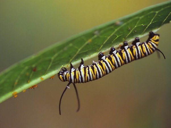 "Monarch caterpillar on Asclepias leaf, photographed by Jeff Zablow at ""Butterflies and Blooms in the Briar Patch,"" Eatonton, GA"