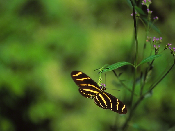 Zebra Heliconioan butterfly sipping nectar, photographed by Jeff Zablow at Kathleen, GA